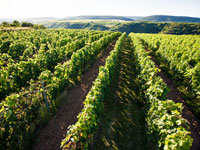 Erleben Sie eine Weinwanderung durch die Weinberge an der Nahe und kosten Sie vom beliebten Nahe-Wein.